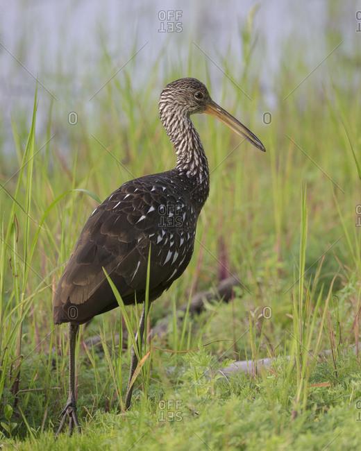 Limpkin, Aramus guarauna, Myakka River State Park, Florida