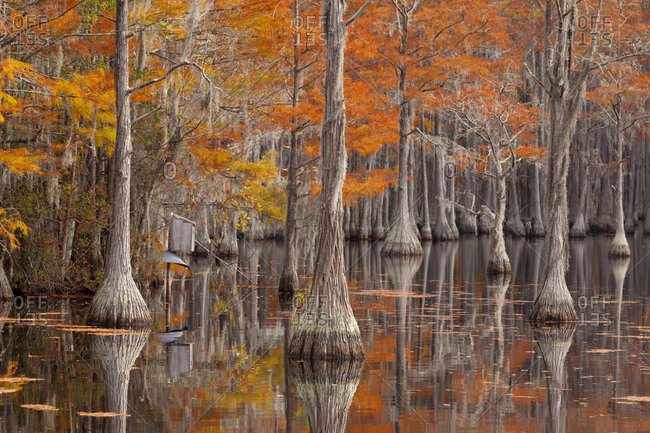 USA, George Smith State Park, Georgia. Fall cypress trees with wood duck box.
