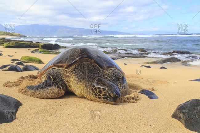 Green Sea Turtle (Chelonia mydas), pulled up on shore, Hookipa Beach Park, Maui, Hawaii, USA