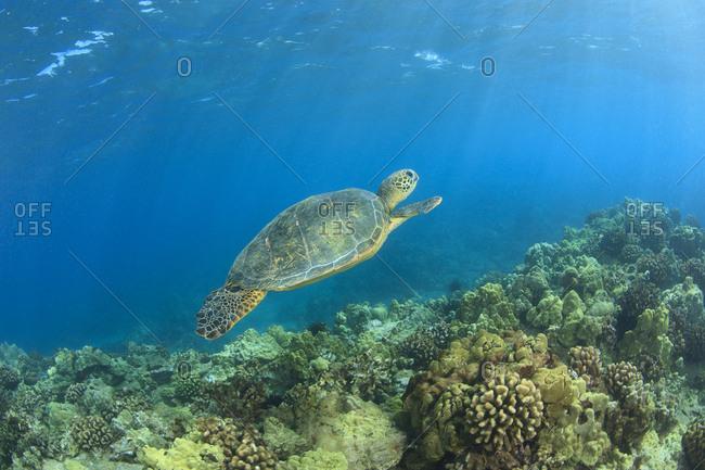 Green Sea Turtle, cleaning station near Makena State Park, South Maui, Hawaii, USA