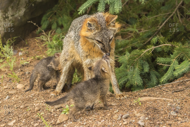 USA, Minnesota, Minnesota Wildlife Connection. Captive gray fox adult and kits.