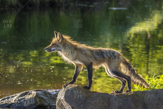 Pine County. Captive red fox on rock.