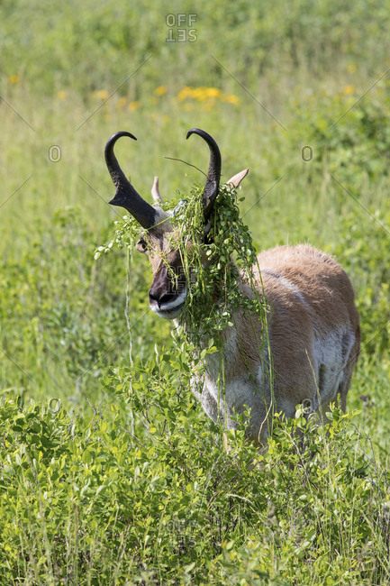 Male Pronghorn with grass caught in horns