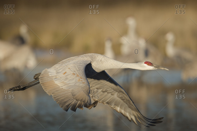 Sandhill crane flying, Grus canadensis, Bosque del Apache National Wildlife Refuge, New Mexico, USA
