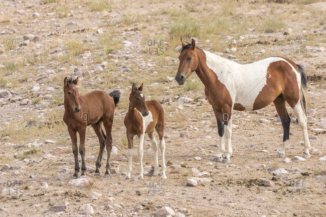 USA, Utah, Tooele County. Wild horse mare and colts.