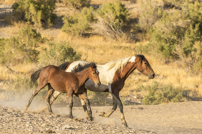 USA, Utah, Tooele County. Wild mare horse and colt running.