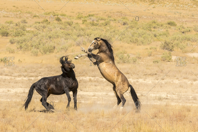 USA, Utah, Tooele County. Wild stallions fighting.