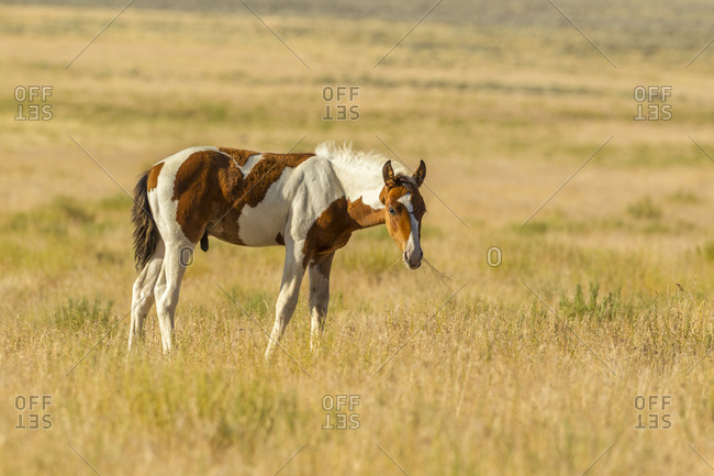 USA, Utah, Tooele County. Wild horse foal close-up.