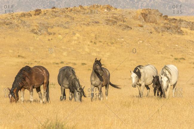 USA, Utah, Tooele County. Wild horses on plain.