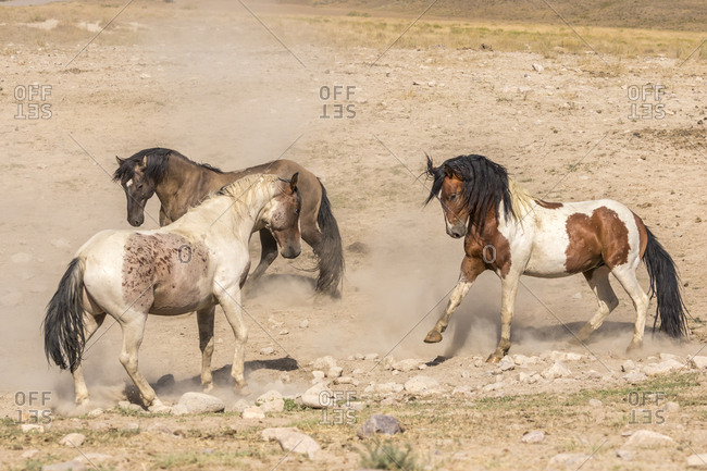 USA, Utah, Tooele County. Wild stallions in dominance challenge.