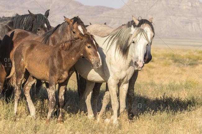USA, Utah, Tooele County. Wild horses close-up.