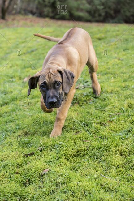 Issaquah, Washington State, USA. Four month old Rhodesian Ridgeback puppy walking across the lawn.