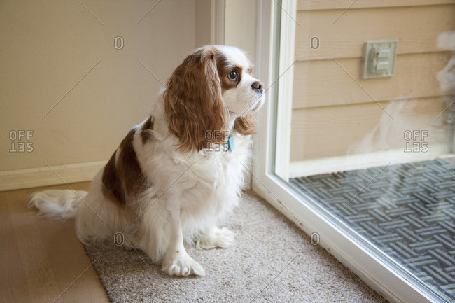 Mandy, a Cavalier King Charles Spaniel waiting by a sliding glass door to be let out.