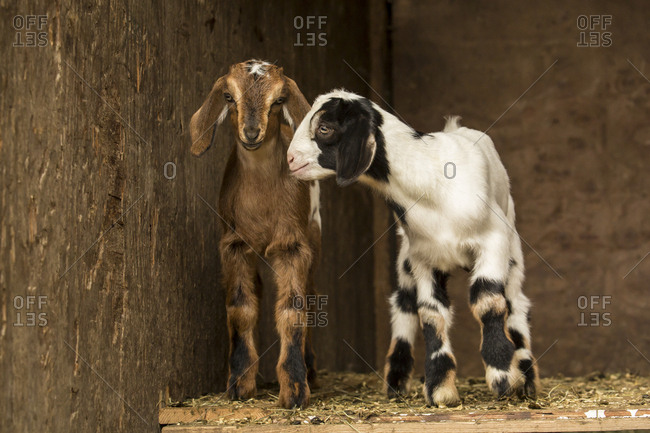 Issaquah, Washington State, USA. Two Twelve day old mixed breed goat kids posing in an open area of the barn.
