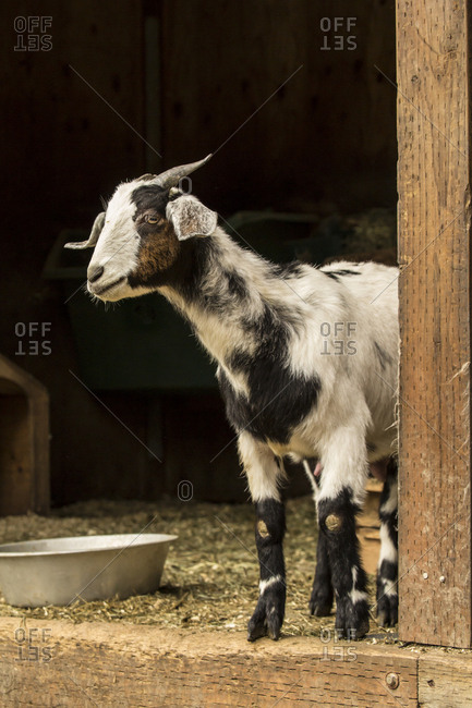 Issaquah, Washington State, USA. Adult doe mixed breed goat looking out from the barn.