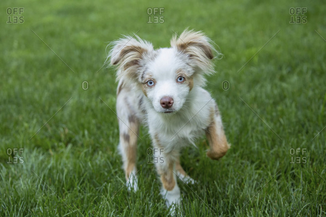 Issaquah, Washington State, USA. Mini Australian Shepherd puppy playing in his yard