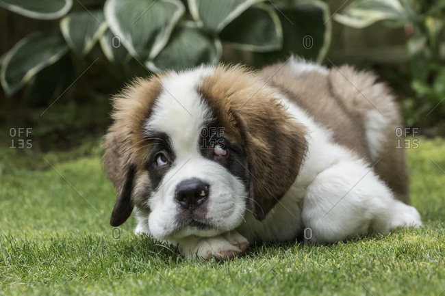 Renton, Washington State, USA. Three month old Saint Bernard puppy with a humorous guilty look on his face as he takes a break from play.