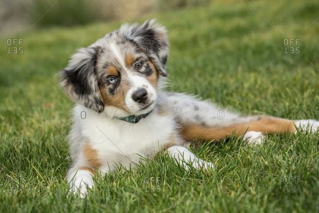 Sammamish, Washington State, USA. Three month old Blue Merle Australian Shepherd puppy looking quizzical while resting in her yard.