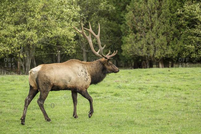 Eatonville, Washington State, USA. American elk bull walking in Northwest Trek Wildlife Park meadow.