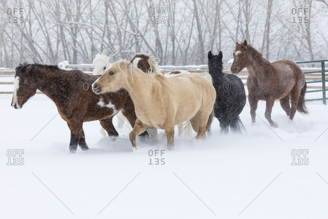 Herd of horses in winters snow, Hideout Ranch, Shell, Wyoming.