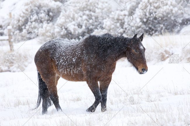 Horse in snow of the Hideout Ranch, Wyoming.