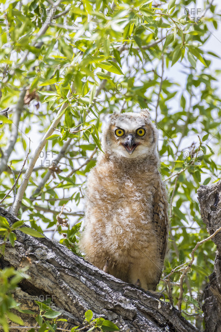 USA, Lincoln County, Wyoming. Recently branched Great Horned Owl chick sits on a cottonwood branch.