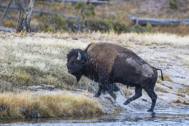 USA, Wyoming. Yellowstone National Park, bull bison crosses the Firehole River and comes out dripping with water