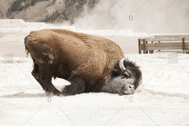 Yellowstone National Park, Wyoming, USA. Bison rolling in calcium carbonate deposits in Mammoth Hot Springs.