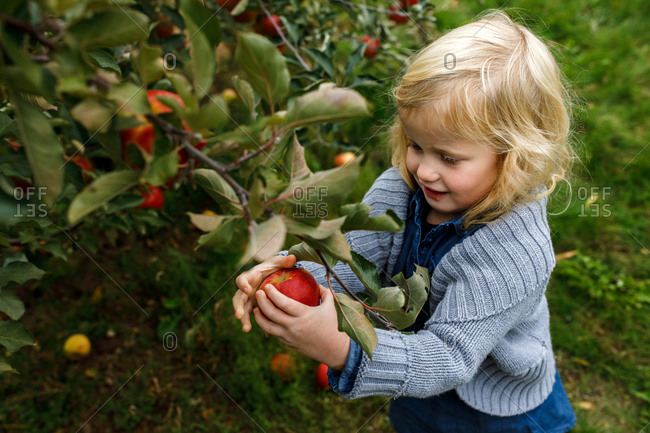 Young girl picking an apple in an apple orchard