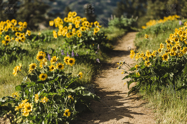Trail surrounded by yellow wildflowers