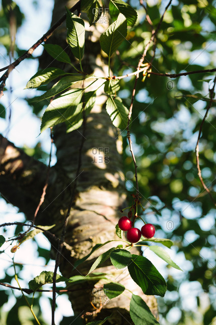Cherries on a tree - Offset