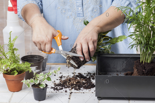 Woman Trimming Roots of Plant in Preparation of Planting a Terrarium