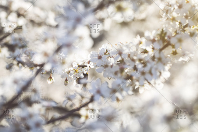 Flowering mirabelle tree- close-up