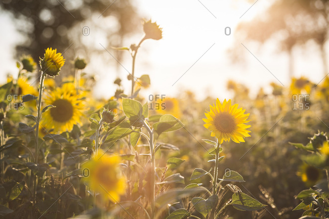 Germany- sunflowers at evening twilight