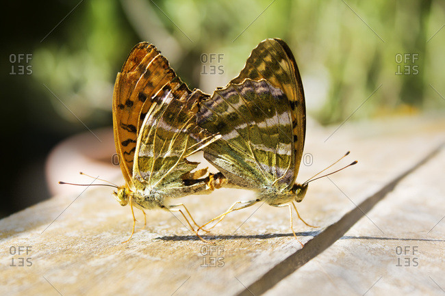 Silver-washed Fritillary- Argynnis paphia- mating butterflies