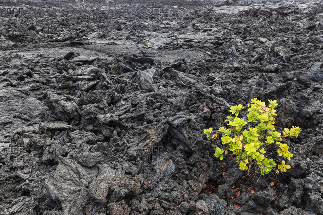 USA- Hawaii- Volcanoes National Park- plant growing on igneous rocks