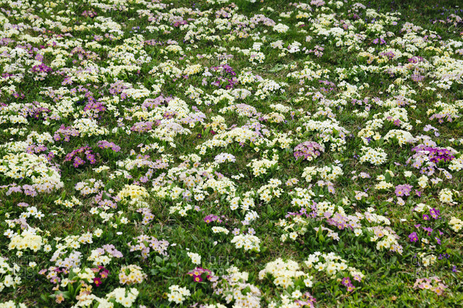 Flower meadow with many primroses in different colors