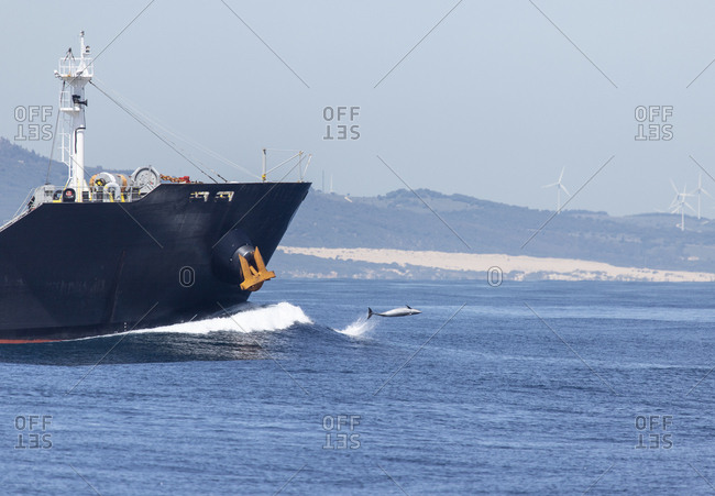 Spain- Tarifa- Cargo ship and bottlenose dolphin surfing the bow wave