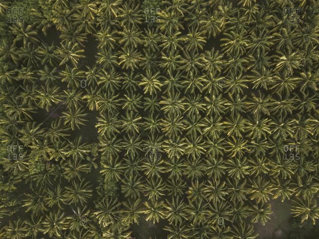 Palm trees- Kertasari- Sumbawa- Indonesia