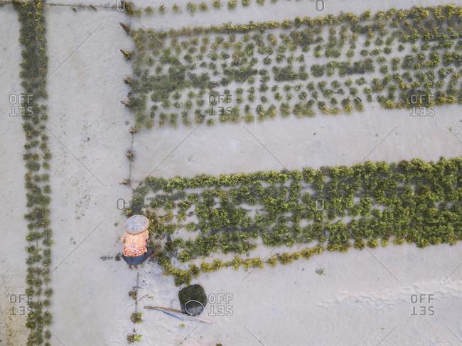 Indonesia- Sumbawa- Kertasari- Worker at seaweed plantation