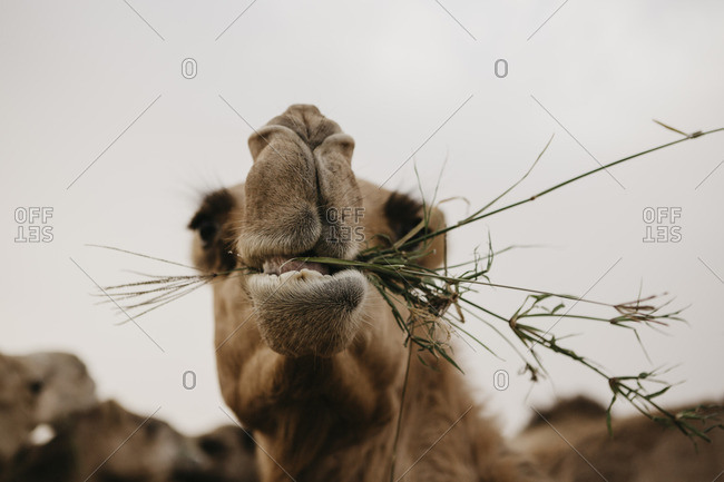 United Arab Emirates- Dubai- portrait of chewing eating camel