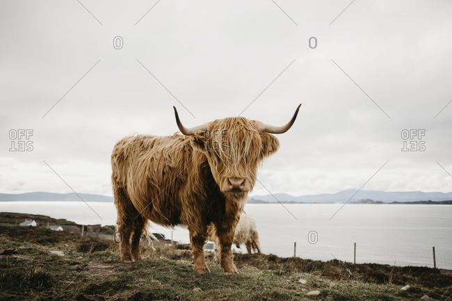 UK- Scotland- Highland- longhorn cattle on pasture