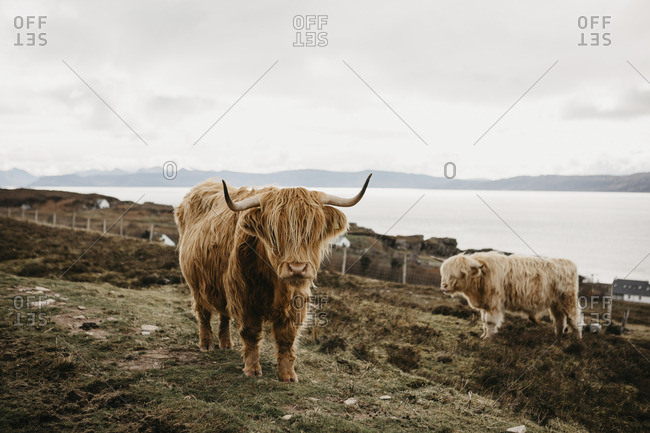 UK- Scotland- Highland- longhorn cattle on pasture