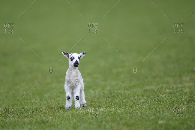 Lamb on a meadow