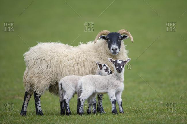 Three sheep on a meadow