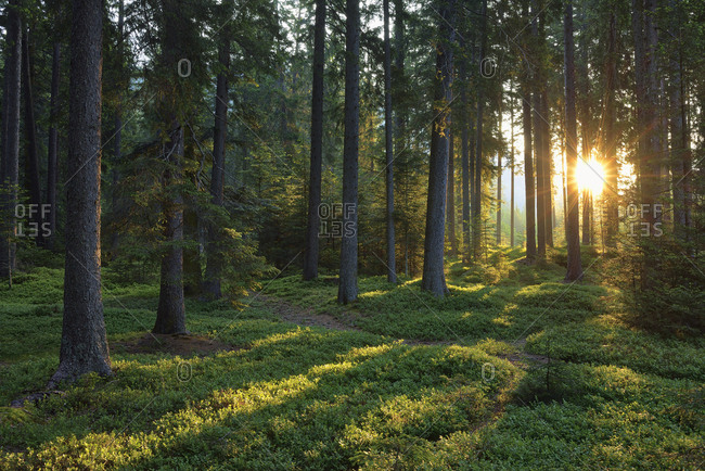Italy- Trentino- Sun with sunbeams in forest at sunrise