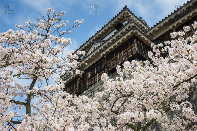 Japan- Shikoku- Matsuyama- view to Matsuyama castle with cherry blossoms in the foreground