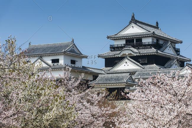 March 28,  2013: Japan- Shikoku- Matsuyama- view to Matsuyama castle at cherry blossom