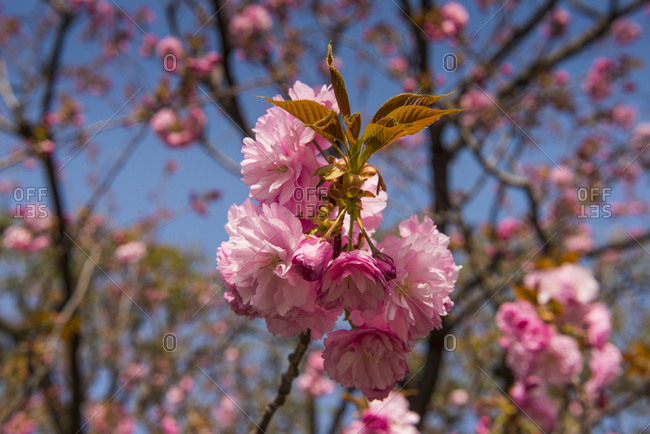 Japan- Tokyo- pink cherry blossoms