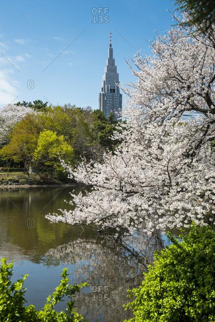 Japan- Tokyo- cherry blossom at Shinjuku Gyo-en Park